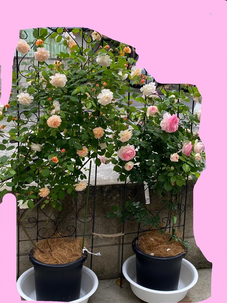 昨年5月につるバラの新苗を購入し、今年の5月に初めて花を咲かせました。 鉢植えで育ててますが、なんとなく小さい気がします。特にピエールの方は180センチのトレリスに誘引して半分くらいの背丈です。 2年目だとこんなものですか? 今後成長していくものでしょうか? ピエールドゥロンサール 10号鉢 バフビューティー 10号鉢