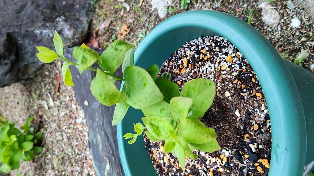 これは何の木でしょうか。 庭にブルーベリーを植えたのですが、かなり枯れてしまったので、鉢に植えかえたのですが、ブルーベリーの木ではないきがしてきました。他の2種類と葉が違うような。 わかるかた教えてください。