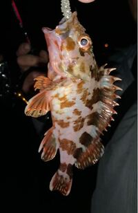 この魚タケノコメバルですか?ガシラですか? どなたか教えて下さい。