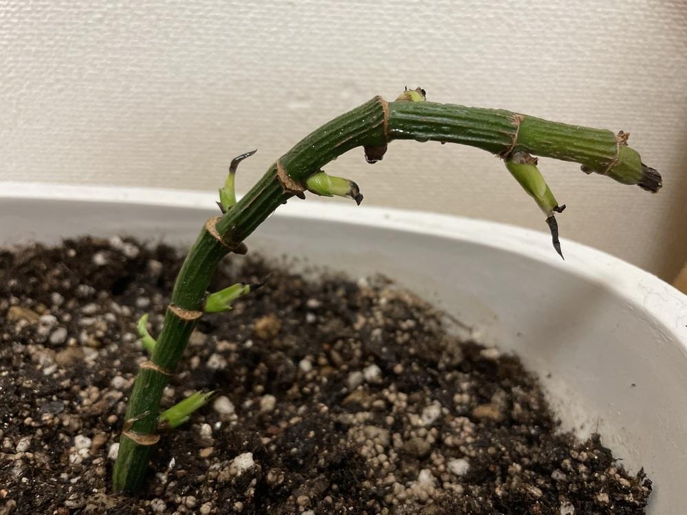 観葉植物が一回日焼けしたのでそれからどんどん歯がとれていき植え直しました。 葉っぱが新しく出てきてくれてたのですが黒くなってなかなか大きな葉っぱまで行きません。 この植物の名前も分からなくてこれからどう再生させたらいいかわかりません。どなたかアドバイスお願いします!!
