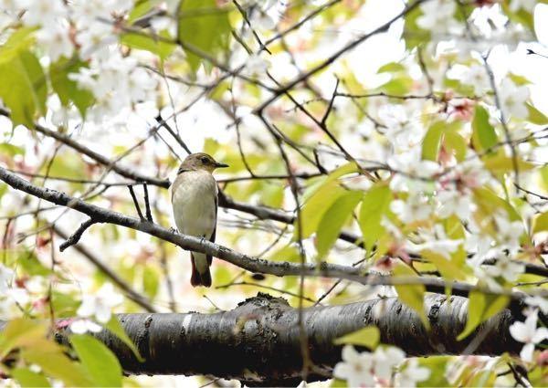 この野鳥はなんでしょう。 教えて下さい。 雀位の大きさでした。 場所は、札幌近郊です。 よろしくお願いします。