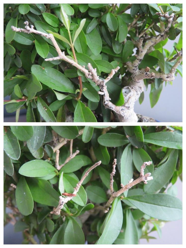 イボタの木。昨年水やりり失敗し半分ほど葉が枯れてしまいました。今年は全体に 葉が付きましたが、一部枯れたままで ここの部分はもう死んでしまったのでしょうか? 形は悪くなりますが、カットしても大丈夫でしょうか? 、、それと全体に大きく成長したせいか見た目がボウボウになって来て形を整えたいのですが剪定は葉が落ちてからにしたほうがいいでしょうか? どなたか教えていただけたら幸いです。