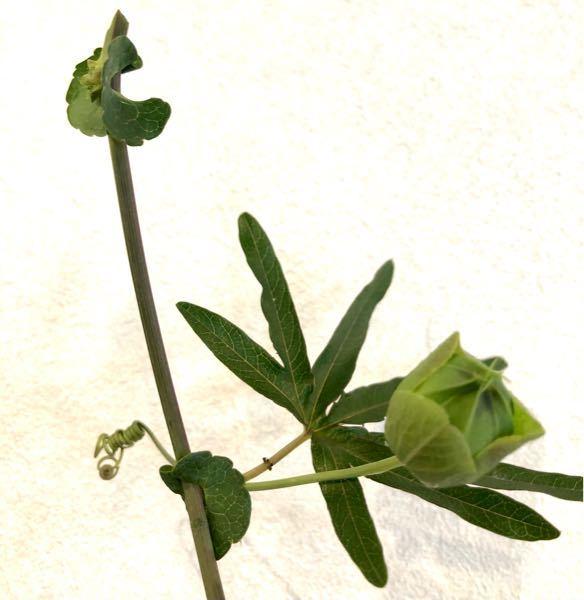 この蔓性植物の名前を教えてください。