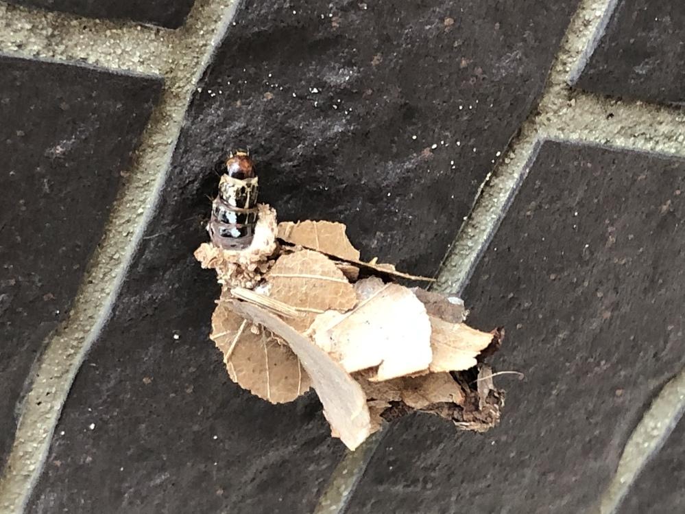この虫、なんの幼虫でしょう?? 自宅の壁にくっついてました。