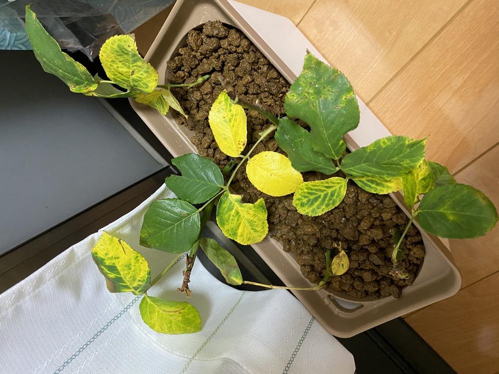 (至急)バラの挿木について教えて欲しいです。 切った根に発根促進のルートンを塗りました。 土は買ったばかりの鹿泥土です。 水は無くならないように1日一度交換して容器が収まるプランターに入れました。 このように黄色くなった葉っぱはもう挿木不可能ですか? もし挿木可能ならどのようなことをすれば発根しますか? これが枯れてしまうとこの間の雨で倒れてしまったバラが全てなくなってしまうので、できるだけ早急に教えていただきたいです。