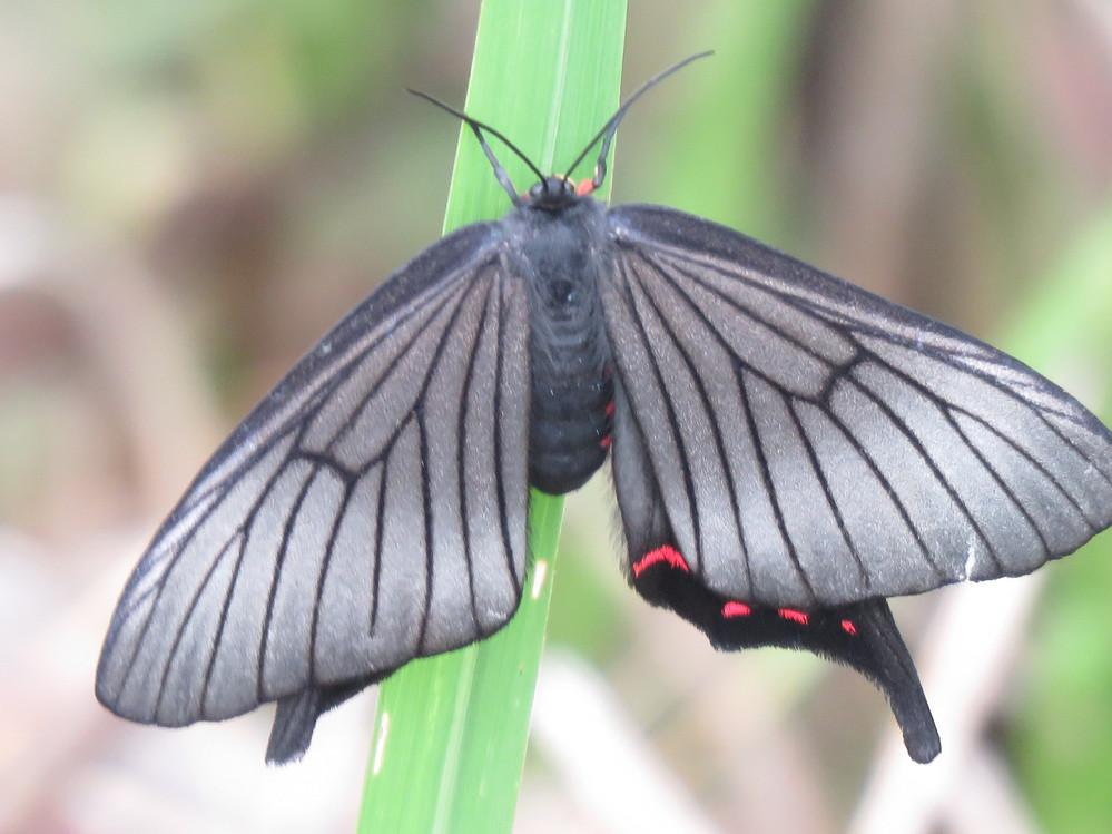 この蝶の名前を教えて下さい。 5月17日福岡県の山中のため池の土手で見かけました。