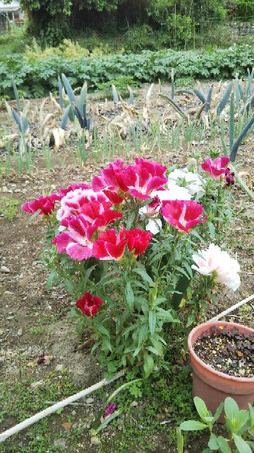 何と言う花でしょうか? 種は売ってるのでしょうか?