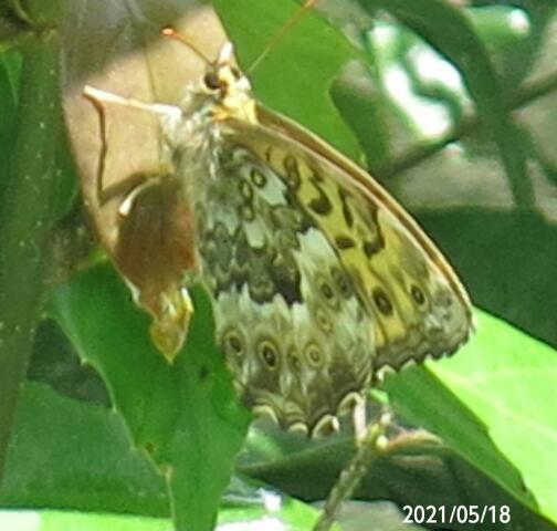 蝶の名前を教えて下さい、 岐阜県米田白山で、 撮影20210518