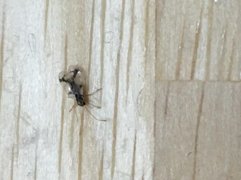 この虫がわかる方いませんか?! ここ2-3日で家の中にたくさん出るようになって困っています。 大きさは2-3ミリで、背中に透明の羽がありますが、基本ゆっくり歩いていて飛んでいる所は見たことがありません。 名前を教えて頂けたら、どんな原因で発生するのかを突き止めて駆除したいです>< 何卒宜しくお願い致します!