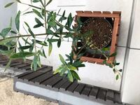 鉢植えのオリーブの葉が黄色くなり少しずつ広がってきている気がします。 数ヶ月前から育て始め外に出しっ放しです。 肥料はまだあげていません。 このままで大丈夫なのか、何か改善したほうがいいのか知りたいです。 よろしくお願いします。