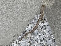 この蛇の種類を教えてください。 最近玄関先で2回見たので気になります。おそらく大きさからして子供だと思います。