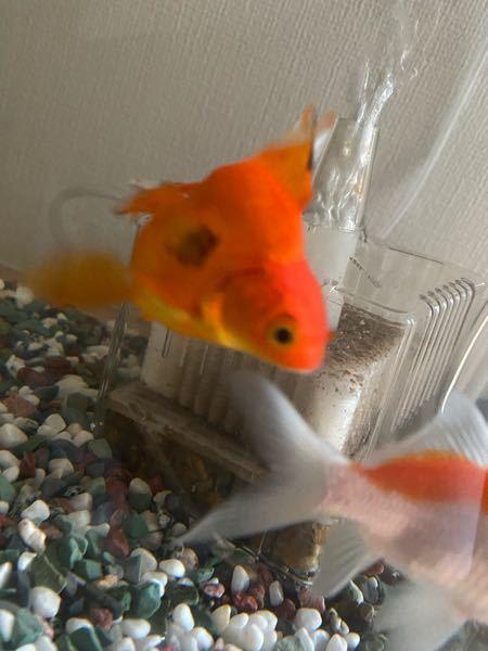先日ホームセンターから金魚を2匹お迎えしました。写真の琉金が家に来てからだんだん体の黒い斑点がでかくなっていくのですがこれは病気でしょうか…?また、病気だった場合にどう対応してあげればいいのかも詳しく教 えていただけるとありがたいです。
