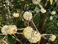 この花って何ですか?  3月9日に千葉県市川市の路上で見かけました。