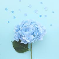 紫陽花の日 (6月6日) には お部屋に紫陽花を飾りますか??