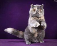 安達祐実ってエキゾチックショートヘアという猫に似てませんか?