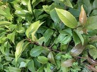 この植物はなんですか? ツル性の植物で葉はツヤっとしています。 3年ほど前には花も咲いたような気がするのですが、それ以降つるばかり伸びてつぼみすら見せません。