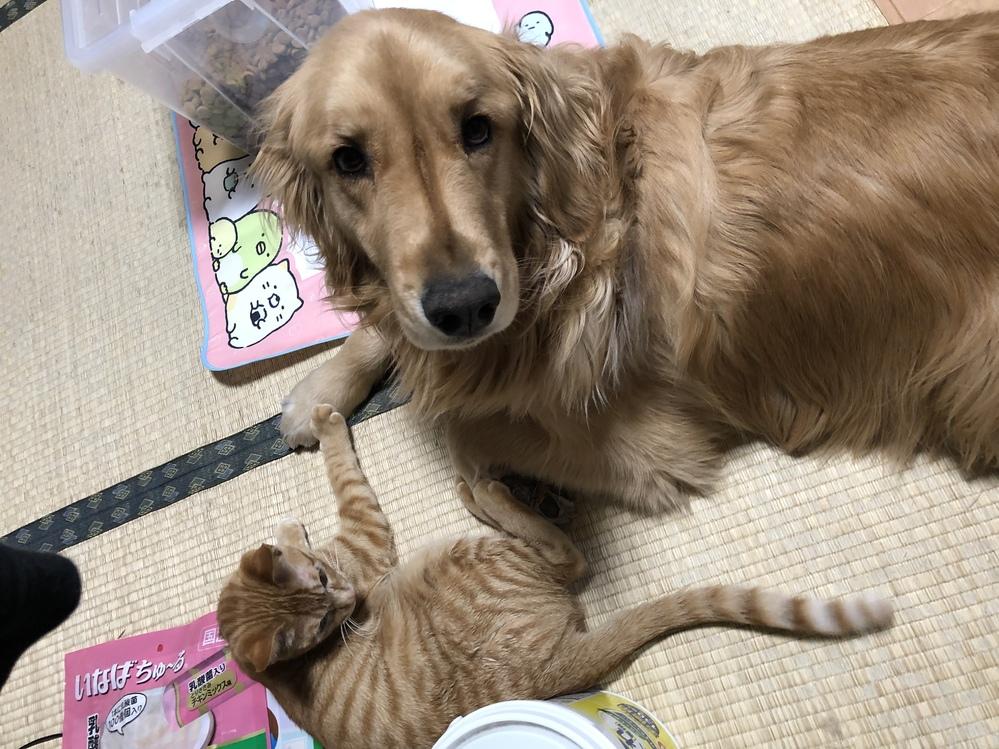 もうすぐ3歳になる(名前、びーふ)ゴールデンレトリーバーをびーふが生後3ヶ月の頃から飼っております。 5歳になる中型犬と生後10ヶ月程の猫もいます。 いままで小型犬〜中型犬までは何頭も飼った経験はありましたが、大型犬は初めてのお迎えです。初めての大型犬だったため、生後1年経つあたりまでは集団でのトレーニングにも連れて行っておりました。 ですが他のわんちゃんとうまく遊べません。 先住犬の中型犬とはトレーナーさんからも、上手に遊んでますって言って頂けたのですが、、。(生後10ヶ月の猫とも仲が良くよく遊んでます) 小型犬が特に怖いようで、小型犬を見るなり吠えつき、皆んなのお散歩時間でのお散歩は出来ないほどです。 ドッグカウンセラーへも連れて行きましたが改善せず。 ドッグランでもレトリーバー犬種とは、ほとんどトラブルもなく遊べるのですが、体重制限フリーのドッグランでは、挨拶をしに来てくれた小型犬に少しでもしつこくされると歯を剥き出しにして威嚇し、追いかけ回したりする動作をします。 ドッグラン内では基本的には前から知らないわんちゃんがびーふの方へ来ると、私の後ろへ隠れてしまいます。リードをしてると揉める原因になるとよく言われるので入って5分ほど匂いに慣らしてからリードを外してます。 室内犬ですが家族に対しての問題行動はなく、基本的に大人しく、すごく甘えん坊です。人に対しても知らない人に吠えるものの遊んでほしいだけのようで、噛み付いたり唸ったりした事もありませんし、子供でも平気なのですが、わんちゃんとだけ、どうしても苦手なようです。 ドッグランへ行った際は、入った順番に関わらず、こちらから挨拶をしに行き、相手のわんちゃんに手の甲の匂いを嗅いでもらって挨拶し、飼い主さんにあまり上手に遊べないんですが、リード外してても大丈夫か聞くようにしてます。 呼び戻しは聞きますし、すぐ抑えられる距離は常に取っていますし、びーふ自身が私の近くから離れません。 どれだけ調べてもゴールデンで同じような子がおらず、他のわんちゃんのトラウマになってしまったらどうしよう、怪我させてしまったらどうしようと思い、走ったり、ボールで遊ぶのは大好きなのにドッグランへ連れて行ってあげたりする事が怖くて最近できません。私の勝手な押し付けで、びーふ自身にはドッグランは合わないのでしょうか?? なにか解決策や提案、同じような方、違う犬種の方でもいいので、少し助けてほしいです。よろしくお願いします。 長々とすいません。