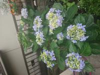 あじさいの葉っぱと花がとても、大きくなりました。 なぜでしょうか? 昨年買った時は小さくてかわいいお花だったのに。 よろしくお願いいたします。