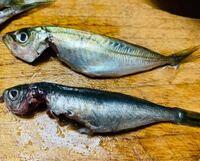 お詳しい方、教えてください。 豆鯵の中にゼイゴがないのがいました。この魚はなんと言う魚ですか?  よろしくお願いします。