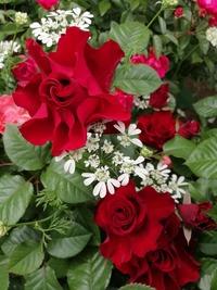 先日、横浜にあるイングリッシュガーデンに行ったのですが、 こちらの薔薇の種類がわかる方いますか? 特定が難しかったら、類似している品種や 薔薇の花びらの形状タイプ?を教えて頂きたいです。 (このような感じの花びらの形、巻き方が好きです)  よろしくお願いします。