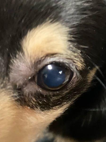 子犬(6ヶ月)でも白内障ってなりますか? * 私の飼っているワンちゃんは、 お迎えした時から目が青みがかった黒だったのです。 写真を撮ったら白くも見えて、もしかしたら白内障の初期段階?なのではないかと思い質問させていただきました。
