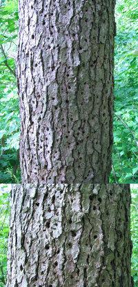 五月の標高300mくらいの低山にあった樹木です。数m上から下まで痛ましいほどに無数の穴が開けられ既に枯れていました。 質問はこの樹木が何かという事ではありません。 この状況から、この樹を枯らしたのが何なのか?? という事です。 何物の仕業でしょうか(何者かの名前を特定してご回答願います。)??