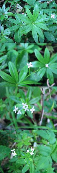 五月の標高300mくらいの低山の日影にあった植物です。 茎をぐるりとかこむような葉が段階的にあり、5mmほどの十文字の白い小さな花が一番上に数輪あります。 何という名前の植物でしょうか??