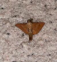 この蛾の種名を教えてください。