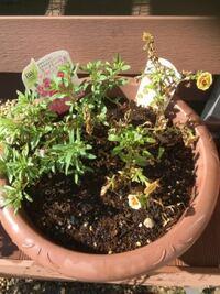 寄せ植えで片方だけ枯れていく原因は何がありますか? ミリオンベルを2種類一つの鉢に植えました。 鉢の大きさ的には大丈夫と購入時にアドバイス頂き植えたのですが、片方だけ元気がないです。 少しは新芽もあるのですが、ここから回復させられますか? また片方だけ枯れる原因はどんなものがありますか?