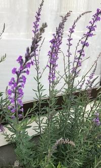 この植物は何ですか?名前を教えてください。 花の色は2種類あります。(写真の紫と、サーモンピンク) どこからか種が飛んできたのか、丈夫で砂利の庭でもどんどん繁殖しています。 きれいで、ほかの雑草が増えなくて良いのですが、この植物自体が雑草なのかどうかも知りたいです。