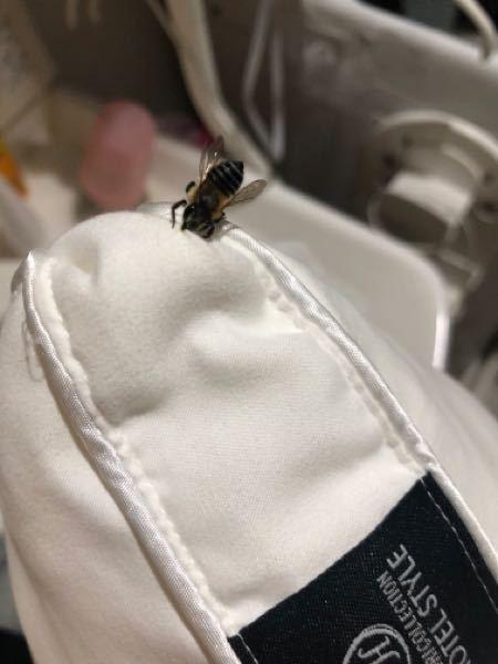 この蜂はなぜこうなったのでしょうか??? 枕を干したら、蜂がやってきてずーーっとおしりを上にあげながら枕を歩いていて、数時間後また見るとこの状態で動かなくなっていました。。なぜでしょう?? また、蜂をとって、この枕をまた使っても問題ないのでしょうか??