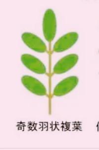 この奇数羽状複葉の小葉は 3対といいますか?4対ですか?