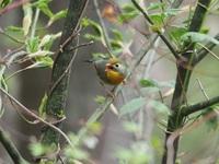5/10長野県の入笠山でウグイスの鳴き声に向けて撮った写真です。 個人的にはウグイスは地味な配色と思っていましたがこの鳥は本当にウグイスでしょうか。