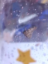 この蛾、なんていう名前でしょうか。。 おうちの中にいてコップで捕まえましたが、コップの中でなんか謎の黄色いつぶを3、4粒くらい落とされてて、、 卵には一応見えないんですけど卵だったら怖いので種類と卵の形と色を教えていただけると幸いです 心配性なので...すみません(>_<)    -この蛾の特徴- ・触覚が細くて長め ・茶色で規則性のない柄(左右は対称) ・目は黒くて顔?は小さめ...