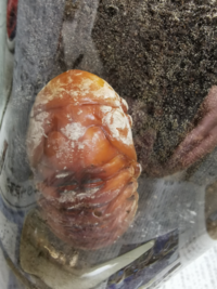 カブトムシの蛹ですが、頭から肩?にかけて白い粉のようなものがついています。 だんだん白い粉の部分が広がっているように見えます。  これは菌か何かに感染してしまっているのでしょうか? また、この子は成虫になるのは難しいのでしょうか?