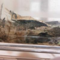 ヌマエビなどのエビに詳しい方いたら教えてください。 このエビ?はなんていうエビですか? 色の濃い方です。