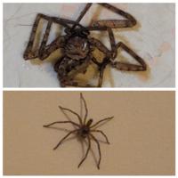 この蜘蛛はアシダカグモの子供でしょうか? 大きさ3~4cmくらい  殺しましたが、1匹いるってことは他にもいるのでしょうか…  築年数3年程だったのでアシダカグモが繁殖していたらショックです。  画像上が殺したあとコロコロに貼り付けたもの 画像下が壁にいた蜘蛛です。