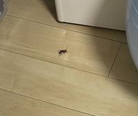 この虫はゴキブリ赤ちゃんですか?