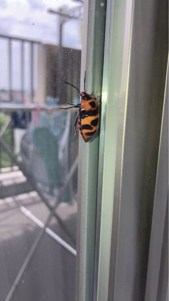 この虫は何という虫ですか?家の中にいました。