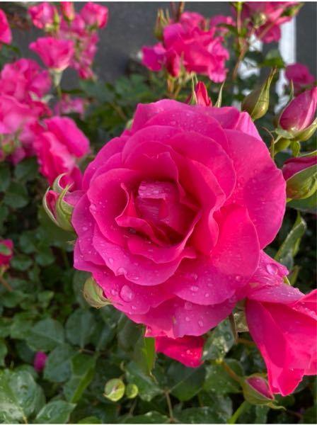 この薔薇の名前はないですか?