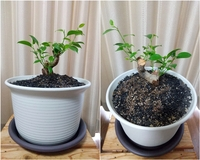 観葉植物の鉢の大きさについて 2ヶ月前に丸坊主にしたガジュマルの新芽がどんどん出てきてすくすく育っていますが、鉢が大きすぎるかな?と最近になって心配になってきました。 何号鉢かはわからないのですが、高さが17cm、一番上の広い部分直径が23cmです。 この鉢に植え替えたのは1年前。徒長した枝が30cmくらい伸びたので4月末に丸坊主にしました。そして今この状態です。が、鉢の底から長~い茶色の根...