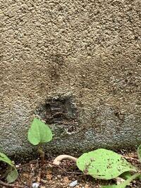 家の基礎コンクリートに穴が空いたり、膨らんでいます。 穴から金属?が見えて錆びてそうです。  ネットで調べたところ爆裂と言う状態なのでしょうか?  木造ですが、ベタ基礎の鉄筋部分が膨らんでる感じでしょうか? ベタ基礎のコンクリートが薄かったのでしょうか? 穴が空いて鉄サビ部分?とコンクリートの厚さがありません。  築18年で外壁の塗装をしたのですが、基礎部分は対象ではなく、自分でホームセンタ...