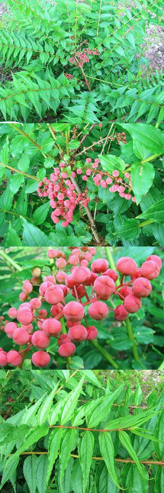5月の標高300m~400mくらいの低山の、比較的日当たりの良い場所で、放射状に枝葉を伸ばして、 中央には 赤い実か蕾か分かりませんが、鮮やかな赤く丸い、実か蕾のようなモノを沢山つけていた植物です。 何という名前の植物でしょうか??