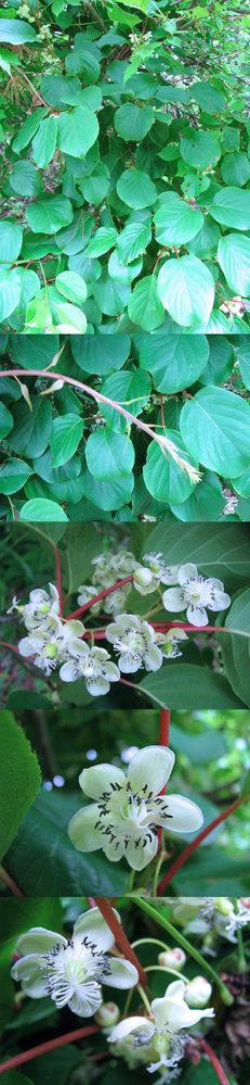 5月の標高300m~400mくらいの低山にあった樹木です。 葉の付け根の軸?が赤く、蔓のような枝?です。 白い面白い形? のキレイな花をたくさんつけています。 何という名前の植物でしょうか??