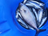 サビキで釣りをしていたら大きいのが釣れたのですが、なんの魚でしょうか?