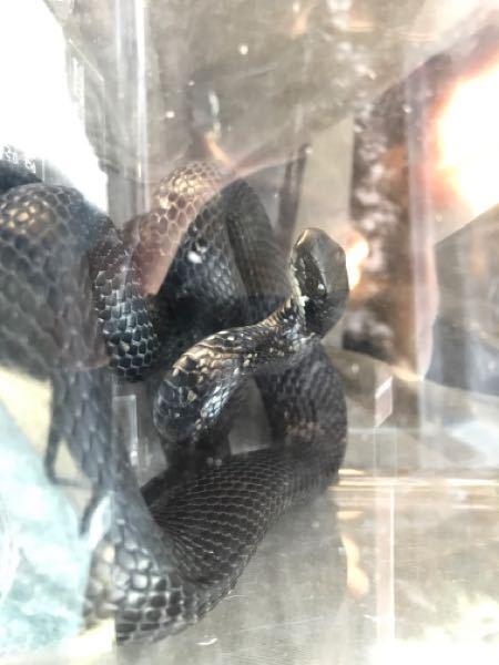 本日、札幌の山の方で川釣をしていたところ初めて野生の黒蛇と遭遇しました。 カラスヘビを飼育したみたい気持ちもあったので嬉しいのですが、マムシの黒化個体もいる話を友人から聞いていたので若干の心配から投稿させていただきました。 こちらはシマヘビの黒化個体で間違い無いでしょうか?