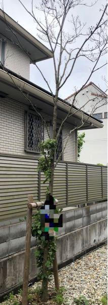 ハナミズキについて 2年程前に植えたハナミズキですが勢いがなく今年はひこばえのみの葉っぱで上は枯れたような状態です。 思い切って上部を剪定しようかなと思いましたが… 今後どうしたらよいですか? よろしくお願いいたします。