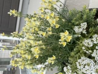 画像の黄色い花の名前を教えてください。 寄せ植えをいただきました。お手入れ方法などを調べたいのですが、黄色い花の名前が分かりません。 よろしくお願いします。