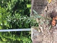 ユーカリの支柱について 庭にユーカリのグニー植えたのですが、支柱をしていませんでした まだヒョロヒョロなのでした方が良いと思いますが、幹に沿って真っ直ぐ支柱刺すと、根が傷みそうです ポットから出した時に根がびっしりでした どうしたら根を傷めずに支柱できますか?