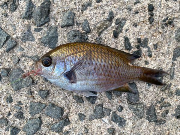 この魚は何ですか? 美味しく食べられますか?
